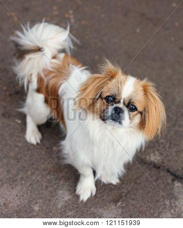 Funny red-haired pekingese dog