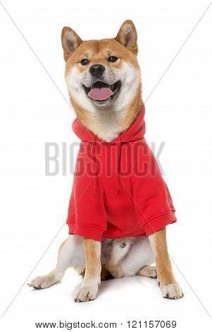dressed shiba inu in front of white background