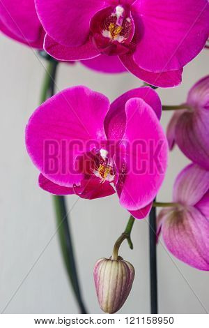 Phalaenopsis Flowers (orchid) With A Bud
