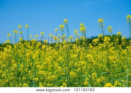 Rapeseed or canola flower field under deep blue sky. Focus is on middle rapeseed flower.