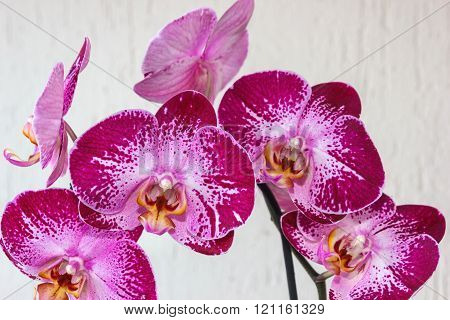 Spotted Phalaenopsis Flowers Close-up