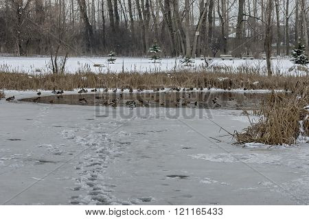 Various duck by frozen pond in winter