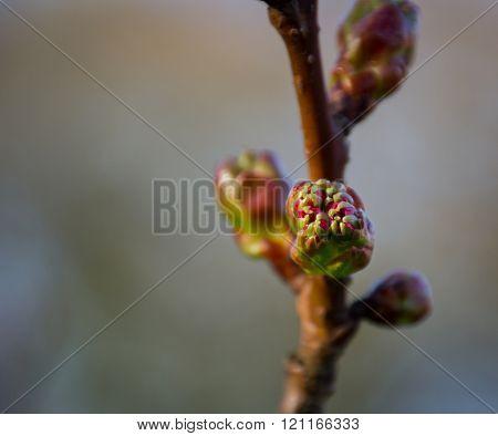 Winter flowering currant bush (Ribes sanguineum)