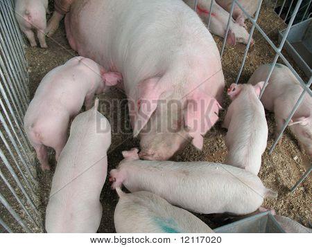milk piggy feeding