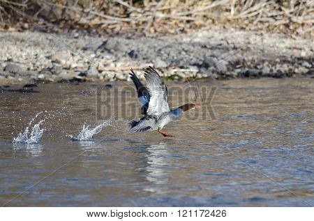 Common Merganser Taking To Flight From The River