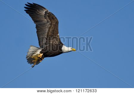 Bald Eagle Flying In A Blue Sky Carrying A Half Eaten Squirrel