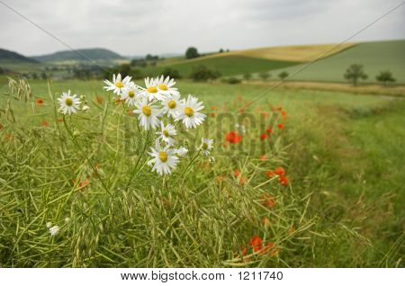 Scentless Mayweed 01