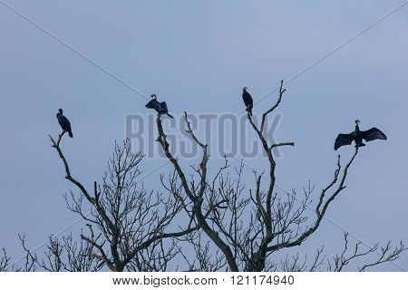 Four cormorants (Phalacrocorax carbo) sit on a dead tree branch. Drying out and enjoying the morning