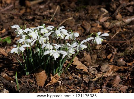 Small group of common snowdrops (Galanthus nivalis) growing through golden leaves