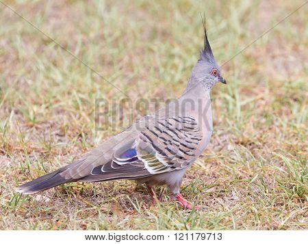 Funny Australian Crested Pigeon Bronzovokryly
