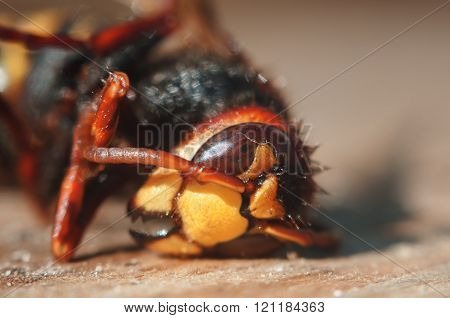 Insect Hornet Closeup