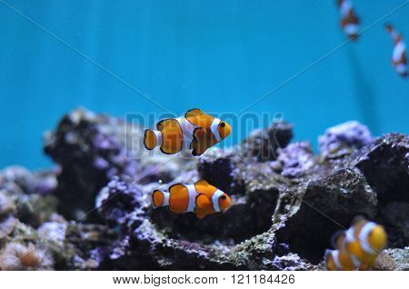 Nemo fish in the aquarium with his fellows