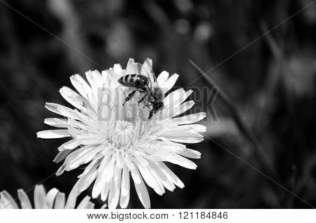 Bee collecting honey from a flower in black and white