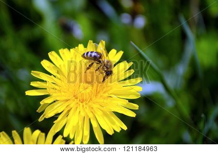 Bee collecting honey from a yellow flower