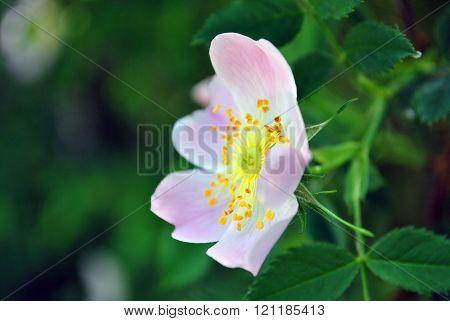 Eglantine Flower