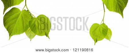 Green Tilia Leaves With Copy Space