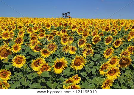 Oil Rig And Sunflower Filed