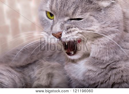 The Angry Cat Lies And Widely Licks Lips, Having Blinked An Eye
