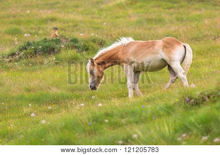 Young Palomino horse on a meadow pasturing