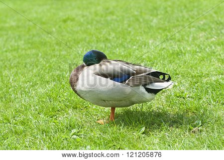 one duck on a green meadow