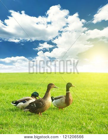 three ducks on a green meadow