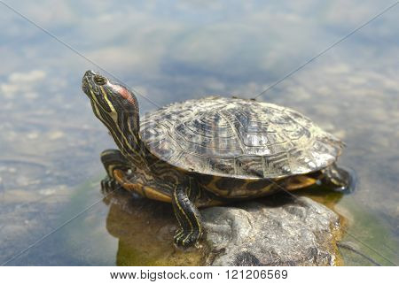 Ornate box turtle basking on a rock in the sun