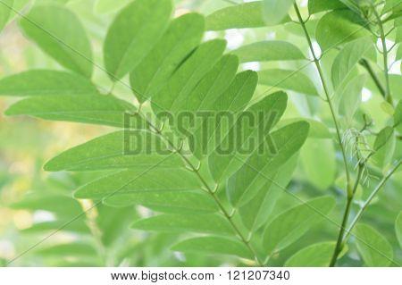 Green acacia leaves