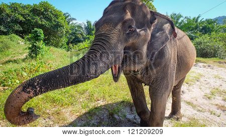 Elephant shows his long snout and trumpets