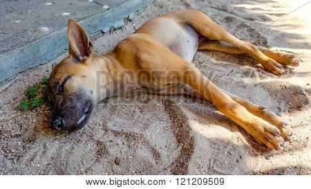 Typical young thai ridgeback dog relaxing in the sand and sleeping with shut eyes in the shadow of the midday sun