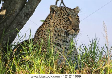 Portrait Of A Leopard At The Masai Mara National Park Kenya Africa