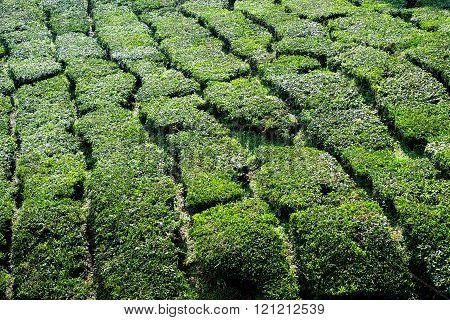 Closeup of the Cameron Valley tea plantation in the Cameron Highlands, malaysia