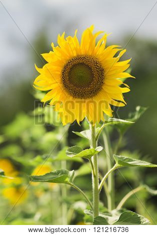 portrait of sunflower