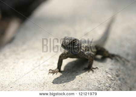 Lizard on asphalt