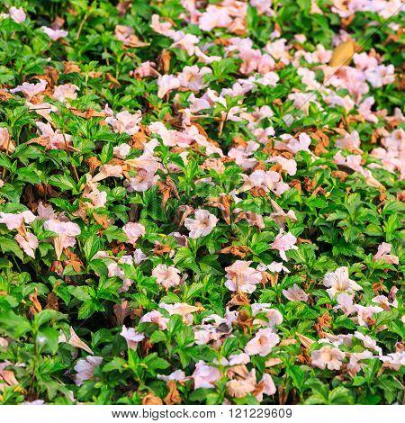 Fallen Pink Trumpet Flower