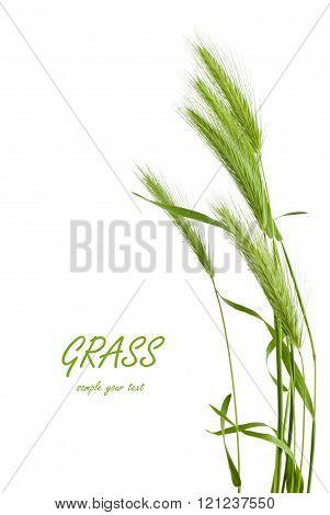 green grass spikelet