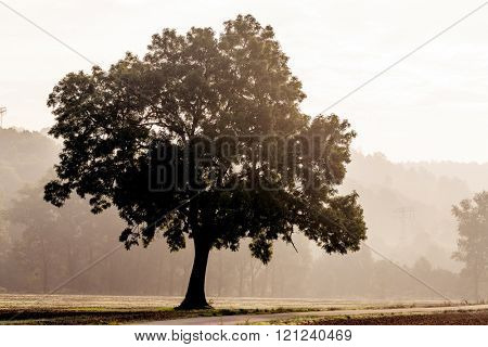 Tree silhouette in foggy morning