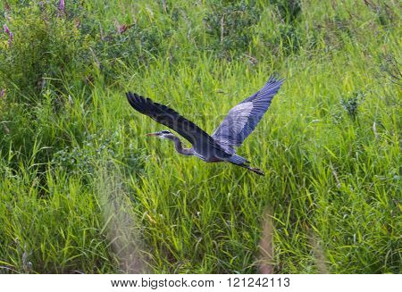 a flying Great Blue Heron with green background