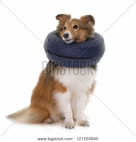 dog with protective collar in front of white background