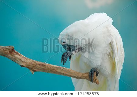 white parrot sits and cleans paws,blue background