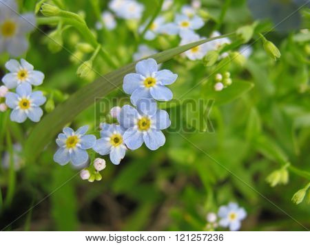 Wild forget-me-not flowers in blue and green colours.