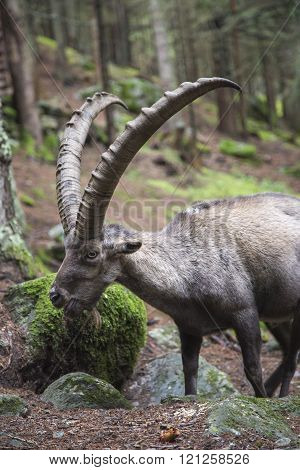 Male alpine ibex with huge horns