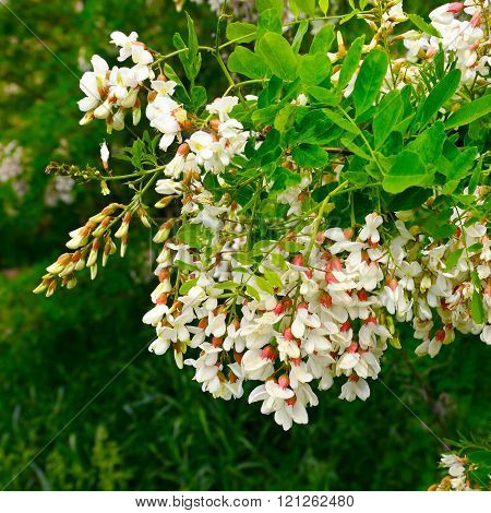 Flowers And Green Leaves Of Acacia