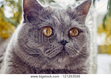 British short hair cat looking aside