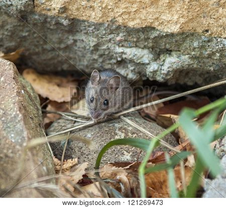 live mouse on stone and grass