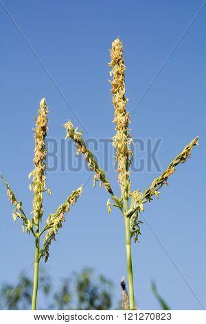 Maize flower stamens