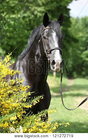 Amazing black welsh part-bred stallion with flowers