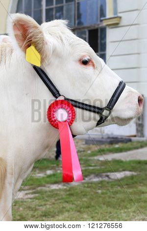 Close Up Of A Very Nice Young Award Winner Cow