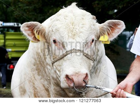 Head Shot Of A Dairy Cow Rural Scene