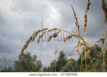 Small black bug hanging on oat ear