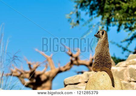 alert meerkat sitting on rock